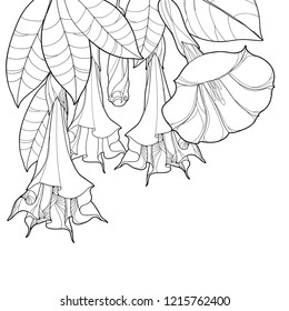 Vector corner bunch with Angels Trumpets outline flower, bud and ornate leaves in black isolated on white background. Contour branch of Brugmansia for tropical summer design or coloring book.