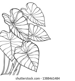 Vector corner bunch of outline tropical leaf Colocasia esculenta or Elephant ear or Taro plant in pastel green on the white background. Ornate contour Colocasia foliage for summer coloring book.