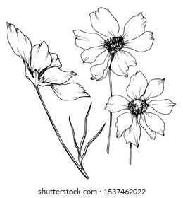 Vector Cosmos floral botanical flowers. Wild spring leaf wildflower isolated element. Black and white engraved ink art. Isolated cosmea illustration element.