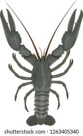 vector crayfish isolated illustration