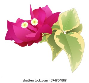 Vector crimson bougainvillea branch with colorful leaves isolated on white background