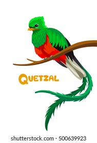 Vector cute quetzal sitting on brown branch children alphabet illustration letter Q, Guatemala symbol of freedom