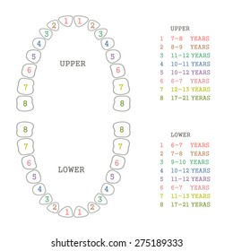 picture about Printable Tooth Chart called Main Enamel Photos, Inventory Shots Vectors Shutterstock