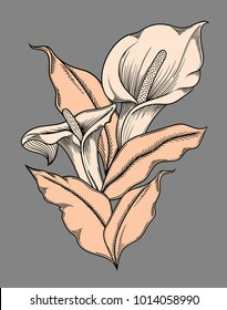 Vector detailed illustration of blooming calla flowers. High quality illustration in sketch style with black outline.Elegant and romantic drawing. hand drawn. Sketchy style,black outline.Vector callas
