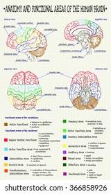 vector diagram of anatomy of human brain