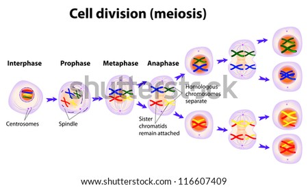 Vector Diagram Meiosis Phases Stock Vector Royalty Free 116607409