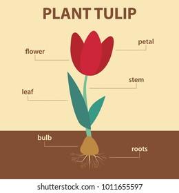Tulip Diagram Images, Stock Photos & Vectors   ShutterstockShutterstock