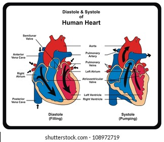 Vector - Diastole & Systole (Filling & Pumping) of Human Heart structure anatomy anatomical diagram