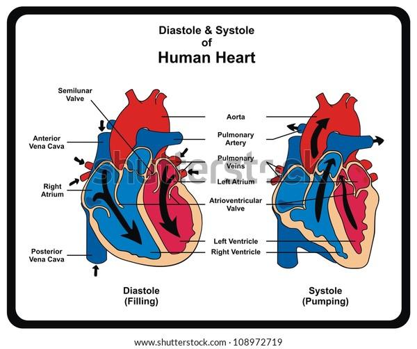blood pressure and circulatory system