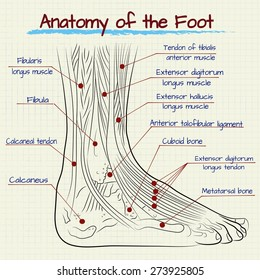 vector drawing of the anatomy of the human foot