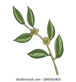vector drawing bay laurel branch, Laurus nobilis, hand drawn illustration
