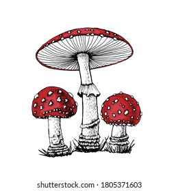 Vector drawing of black-white fly agaric graphics with red mushroom cap, forest poisonous mushroom, medicinal plant, magic, toxic mushroom isolated on white background for printing.