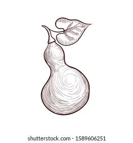 vector drawing bottle gourd, calabash, hand drawn illustration