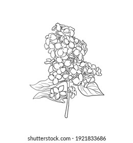 vector drawing branch of lilac, hand drawn illustration