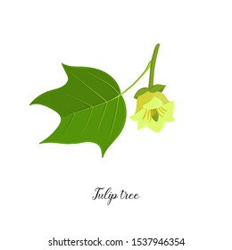 vector drawing branch of tulip tree with leaf and flower, Liriodendron, hand drawn illustration