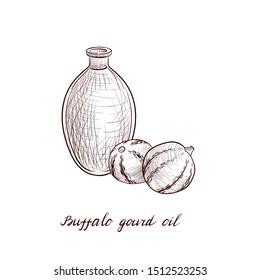 vector drawing buffalo gourd oil, bottle of vegetable oil and Cucurbita foetidissima, hand drawn illustration