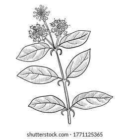 vector drawing cat's claw, Uncaria tomentosa, hand drawn illustration of medicinal plant