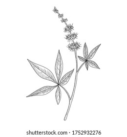 vector drawing chasteberry, Vitex agnus-castus, hand drawn illustration of medicinal plant