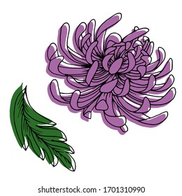 Vector drawing of chrysanthemum flowers. Nature. Sketch, illustration.
