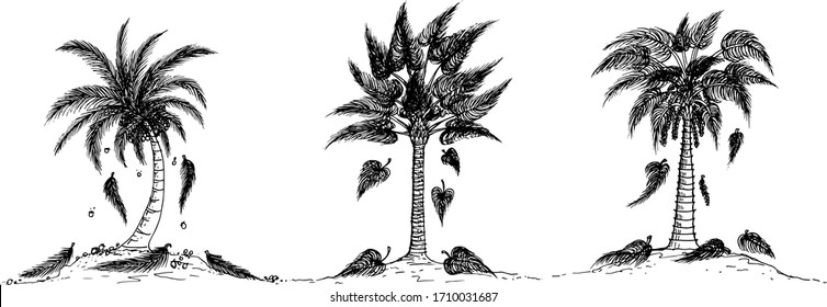 Vector drawing coconut palm tree black and white.