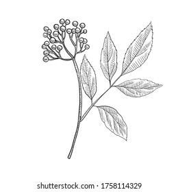 vector drawing elderberry, Sambucus nigra, hand drawn illustration of medicinal plant
