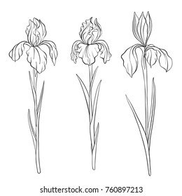 vector drawing flowers of irises, isolated floral element, hand drawn illustration