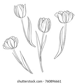 vector drawing flowers of tulips, isolated floral element, hand drawn illustration