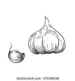Vector drawing garlic and clove of garlic. Hand drawn engraved style illustration. Detailed sketch.