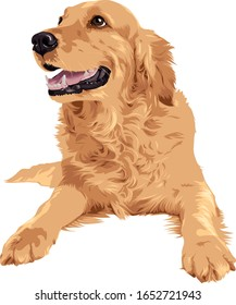 Vector drawing of golden retriever dog laying on white background