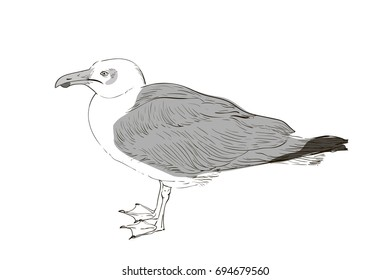vector drawing of a great white Seagull