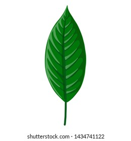 vector drawing green tropical leaf of Heliconia, botanical illustration, hand drawn floral jungle elements
