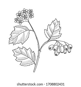 vector drawing hawthorn branch with leaves, flowers and berries, Crataegus laevigata, hand drawn illustration