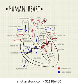 Vector drawing diagram human heart school stock vector 255876382 vector drawing of a human heart diagram ccuart Image collections