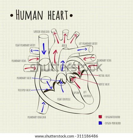 vector drawing human heart diagram 450w 311186486 vector drawing human heart diagram stock vector (royalty free