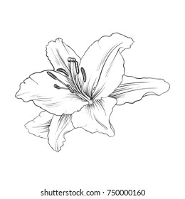 Lily Drawing Images Stock Photos Vectors Shutterstock