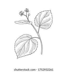vector drawing linden branch,Tilia cordata , hand drawn illustration of medicinal plant