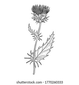 vector drawing milk thistle, Silybum marianum, hand drawn illustration of medicinal plant