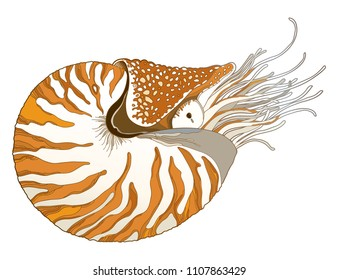 Vector drawing of Nautilus Pompilius or chambered nautilus in ornate striped shell isolated on white background. Striped sea mollusk in contour style for nautical summer design.