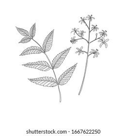 vector drawing neem tree branch, Azadirachta indica , hand drawn illustration