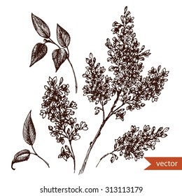 vector drawing  pen and ink drawing, lilac flowers, monochrome isolated image vintage