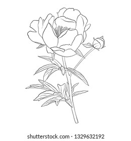 vector drawing peony flower, isolated floral element, hand drawn botanical illustration