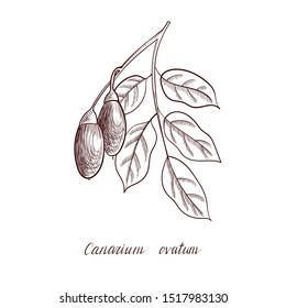 vector drawing pili nut tree branch, Canarium ovatum, hand drawn illustration