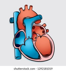 Vector Drawing of a / Simple Heart Anatomy / Easy to edit layers and groups, Easy to colourize and change colours. Strokes and shape objects not outlined so easy to change elements as needed.