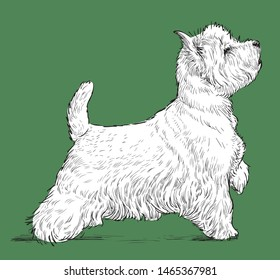 Vector drawing of a standing scittish terrier