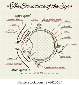 vector drawing of the structure of the human eye