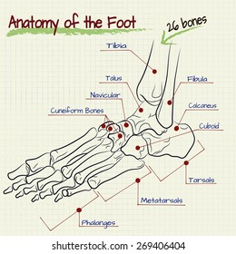 vector drawing of the structure of the human foot