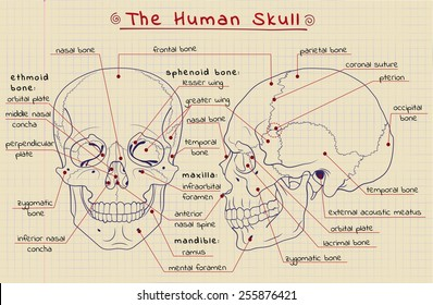 vector drawing of the structure of the skull in a school notebook