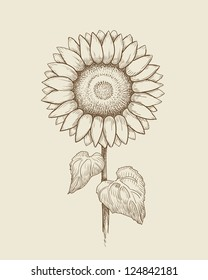 Vector drawing of sunflower