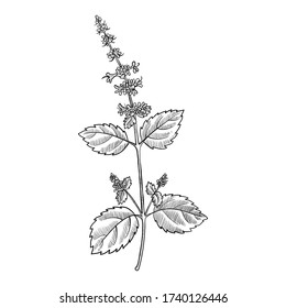 vector drawing tulsi, holy basil, Ocimum tenuiflorum, hand drawn illustration
