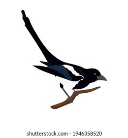 Vector drawing of wild common bird species, Eurasian Magpie, European Magpie, or Common Magpie, Pica pica, crow family on a white isolated background.